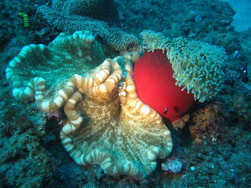 anemone_cryptodendrum_adhaesivum